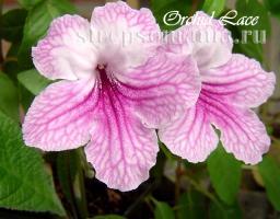 Стрептокарпус Orchid Lace
