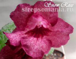 Стрептокарпус Snow Rose