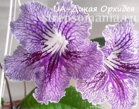 Стрептокарпус UA-Дикая Орхидея