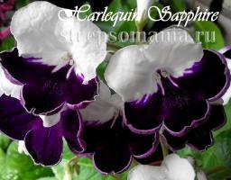Стрептокарпус Harlequin Sapphire