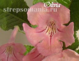 Стрептокарпус Olivia