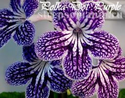 Стрептокарпус Polka-Dot Purple