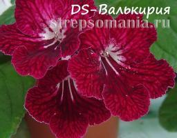 Стрептокарпус DS-Валькирия