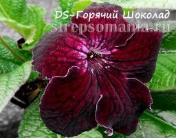 Стрептокарпус DS-Горячий Шоколад