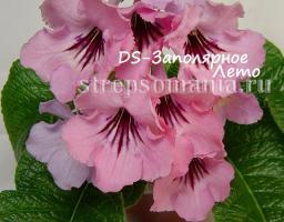 Стрептокарпус DS-Заполярное Лето