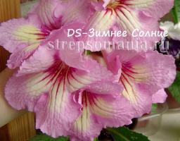Стрептокарпус DS-Зимнее Солнце