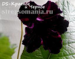 Стрептокарпус DS-Красное и Черное