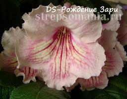 Стрептокарпус DS-Рождение Зари