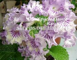 Стрептокарпус DS-Хрустальное Кружево