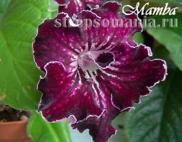 Стрептокарпус Mamba