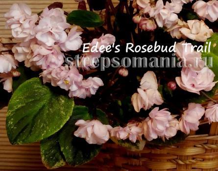 фиалка Edee's Rosebud Trail
