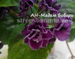 фиалка АН-Мадам Бовари