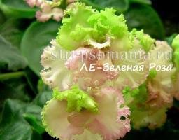 фиалка ЛЕ-Зеленая Роза