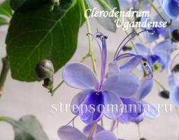 Клеродендрум Угандийский