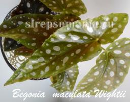 Бегония maculata Wightii