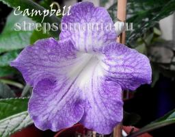 Стрептокарпус Campbell