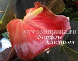 Антуриум Rainbow Champion