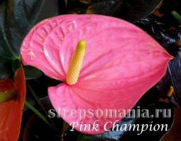 Антуриум Pink Champion