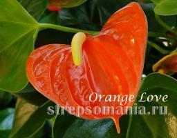Антуриум Orange Love
