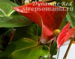 Антуриум Dynamite Red