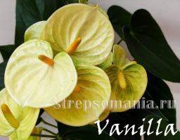 Антуриум Vanilla