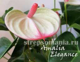 Антуриум Amalia Elegance