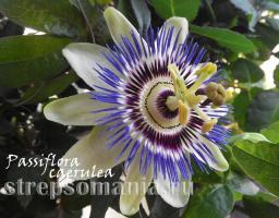Пассифлора caerulea