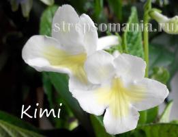 Стрептокарпус Kimi