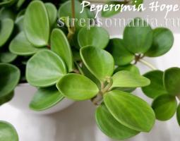 Пеперомия tetraphylla Hope