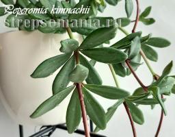 Пеперомия kimnachii