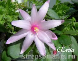Rhipsalidopsis Evita