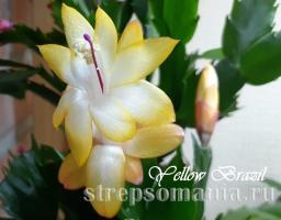 Шлюмбергера Yellow Brazil