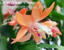 Шлюмбергера Wild Cactus Orange