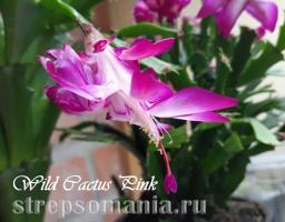 Шлюмбергера Wild Cactus Pink