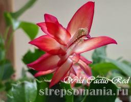 Шлюмбергера Wild Cactus Red