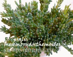 Рипсалис mesembryanthemoides