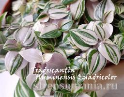 Традесканция fluminensis Quadricolor