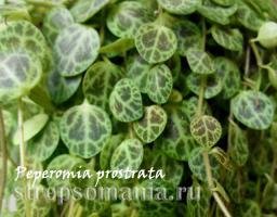 Пеперомия prostrata