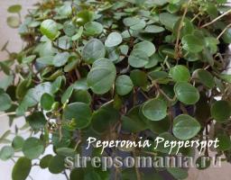 Пеперомия pepperpot
