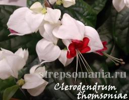 Клеродендрум Томпсона