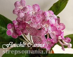 Стрептокарпус Fleischle Carina