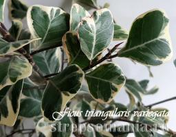 Фикус Triangularis White Margin
