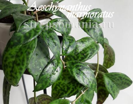 Эсхинантус marmoratus