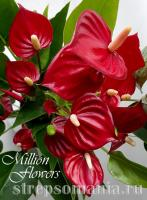 Антуриум Million Flowers