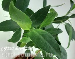 Фикус diversifolia