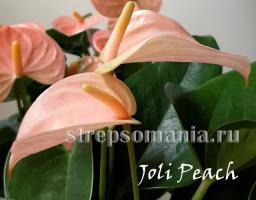 Антуриум Joli Peach